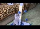 Шотландский вислоухий котенок играет с когтеточкой