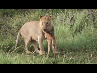 Lioness protects calf