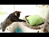Nikita Cat Goes Crazy with Hexbugs Full HD,1080p