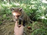 Me feeding a fox cub 3