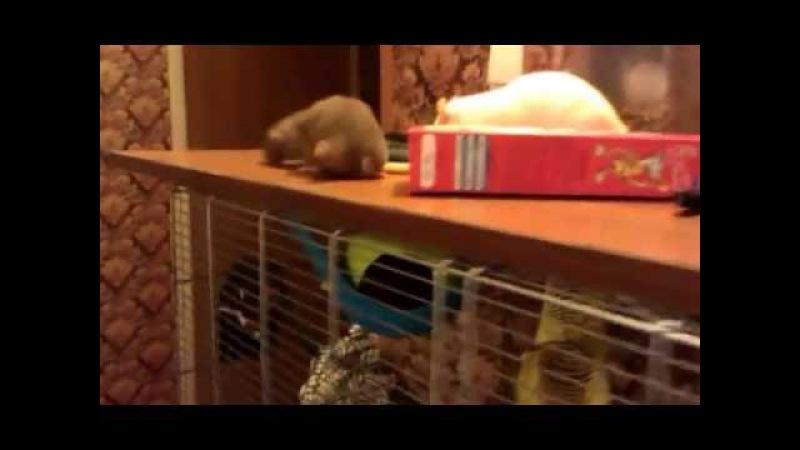 Моя крысо-стайка 2.