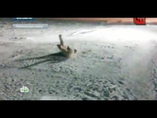 Повар-полярник взорвал медведя ради забавы: видео
