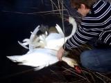 Как два лебедя запутались между собой