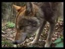 Еж и волк. Hedgehog and wolf. дикий мир и поведение животных в нем.