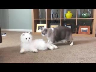 Реакция котов на кота-робота)