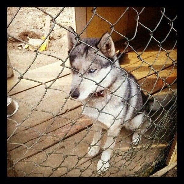 Пропала собака 05.05,порода хаски. Район харинка.Девочка, зовут Мальта