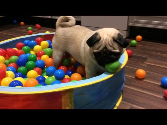 CUTE PUG PLAYING IN A BALL POOL!!