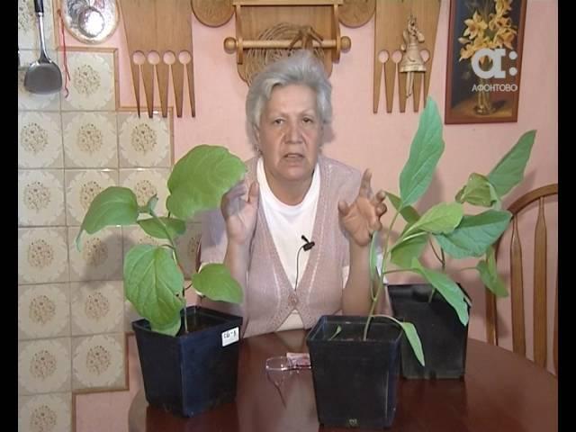 Голова садовая Как правильно высаживать баклажаны