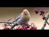 Пение птиц. Щур (Pinicola enucleator).