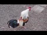 Животные поют: Seven Nation Army