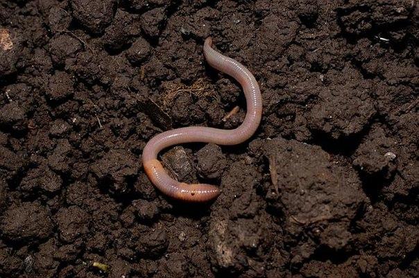 Как развести червей в огороде - Дачка-огородик