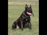 KNPV bloodlines pitbull - dutch shepherd police dog Mosley