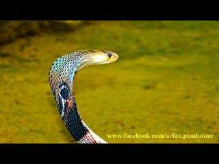 King Cobra snake Королевская индийская кобра Отдых горящие туры в Индию Горящие туры ...
