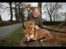 Дикие лисы в роли домашних животныхPatsy Gibbons and foxesили спасение лисиц