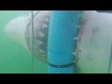 Большая белая акула нападает на клетку дайверов.