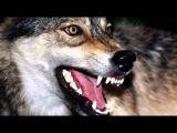 Одинокий волк. Зов крови. (Фото слайд-шоу, 2012)