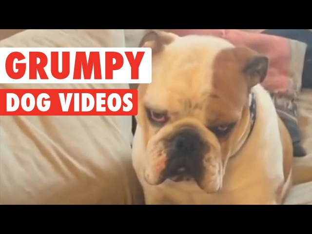Funny Grumpy Dog Pet Video Compilation