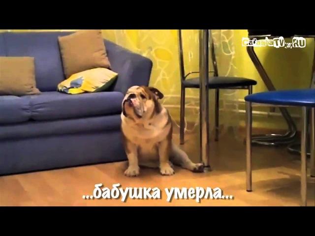 Собака смотрит сериал и сильно переживает