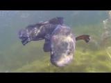 ЖЕСТЬ. ЗМЕЕГОЛОВ НАПАЛ на КАРПА при Подводной охоте (Казахстан)