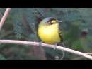 Yellow lored tody flycatcher Сероголовый тоди мухолов Todirostrum poliocephalum