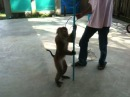 Sad monkey pole dance