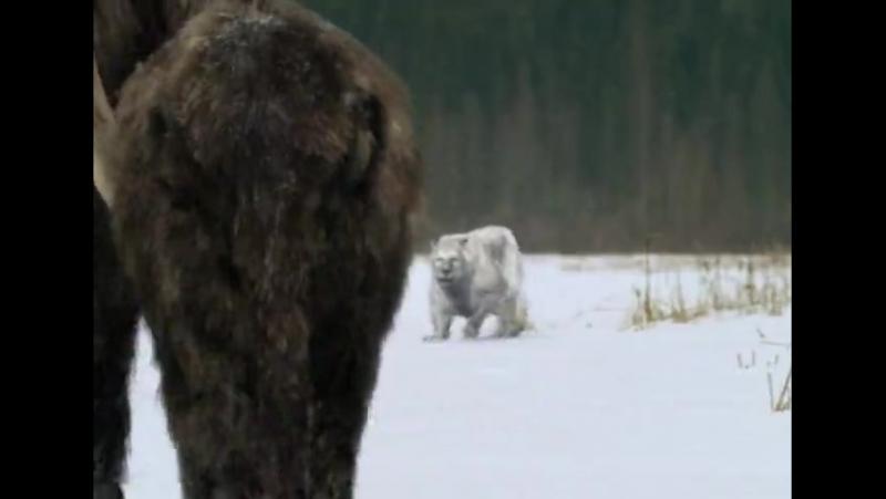 Сериал BBC_ Прогулки с чудовищами Walking with Beasts смотреть онлайн бесплатно!_6