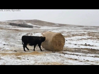 Коровы весело толкают сноп сена, США / Crazy Hereford cows rolling 1000+ pound wheat straw bale