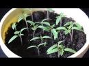 """Выращивание рассады томатов с использованием препаратов компании """"НЭСТ М"""""""