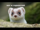 Кот и горностай)