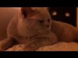 Наши беседы с котом британским говорящим