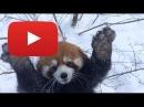 Красные панды играют в снегу - Приятного вам умиления