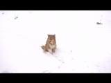 Рыжий пёс лис