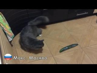 Русские коты НЕ боятся огурцов (6 sec)