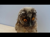 Совёнок ушастой совы. Screech-owlet