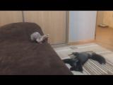 Бурый лис против кошки [720p]
