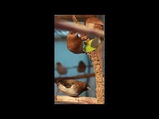 Японские амадины грызут колосок сенегальского просо