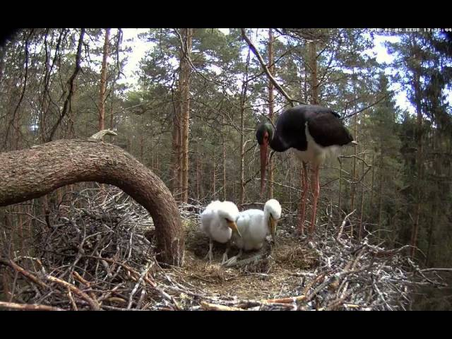 Estonian Black Storks ~ One of the storklets managed to swallow a very large fish! 2016-06-06 13:37