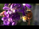 Blue Banded Bee collecting nectar from salvia flowers