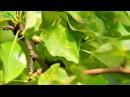 РЖАВЧИНА - болезнь груши. Как предотвратить и вылечить - 7 дач