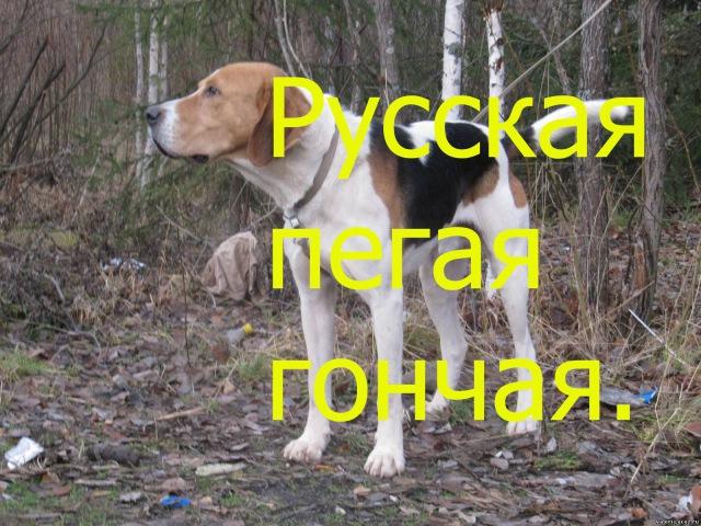 Русская пегая гончая – порода охотничьей собаки в HD.