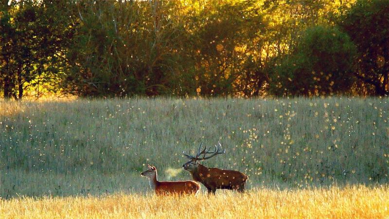 Олени и бабочки. Бабье лето. Red deer and butterflies. Indian summer.