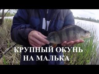 Рыбалка крупный окунь на поплавочную удочку на малька