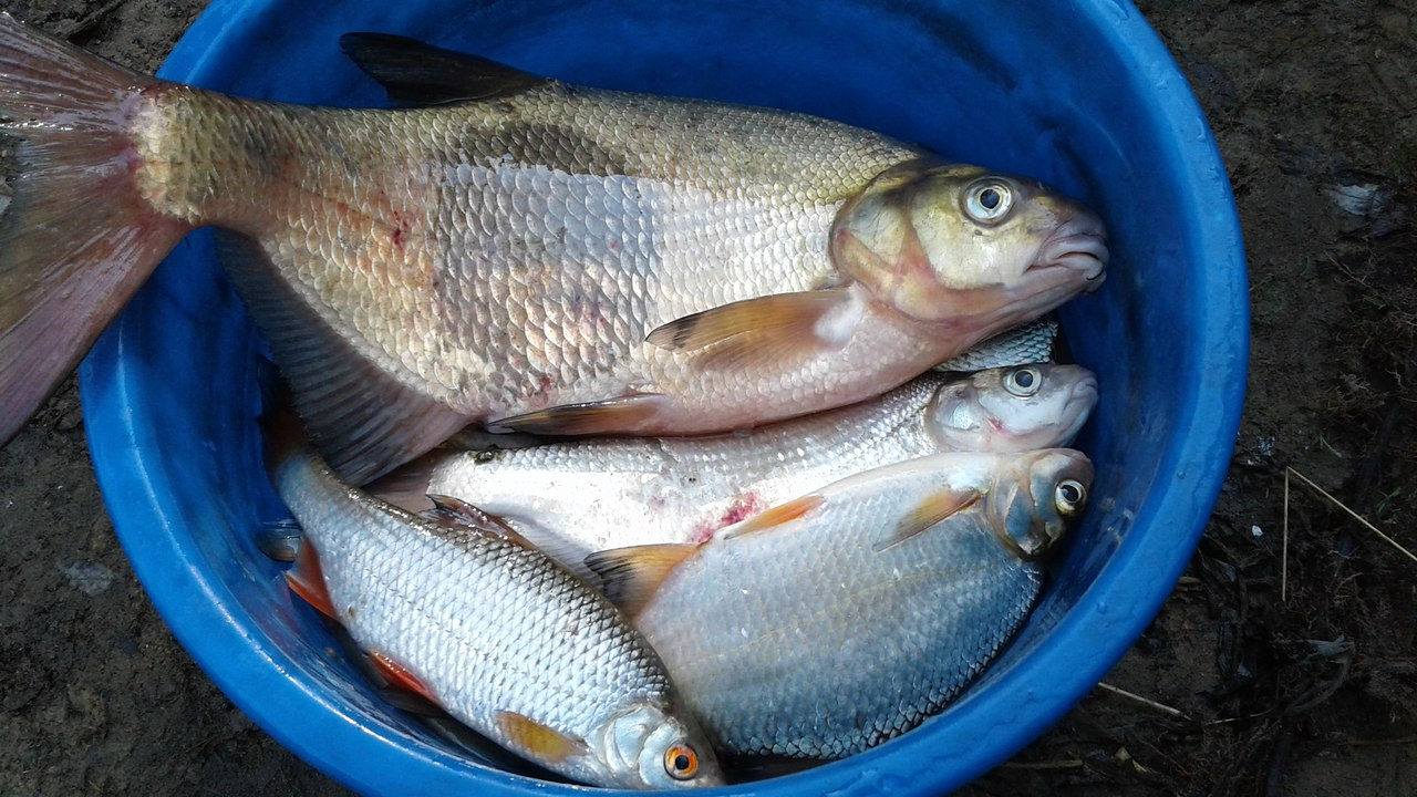 где на бровке рыба схема