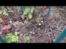 Осенняя обрезка куста смородины 2