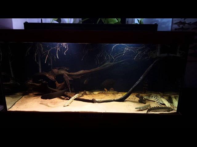 800 liter polypterus tank, feeding