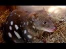 Пятнистохвостая сумчатая куница/ Tiger quoll/ Spotted-tailed quoll Dasyurus maculatus