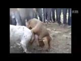 Gull Terr vs Pit Bull (fight)