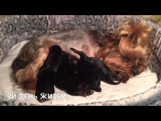 Новорожденные щенки Йоркширского терьера. д.р. 23.02.2016.