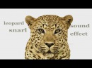 The Animal Sounds: Leopard Snarl - Sound Effect - Animation