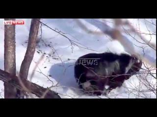 Тигр Амур впервые напал на козла Тимура и ранил его